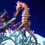 Бактериальные болезни аквариумных морских коньков