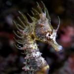 Жирафовый морской конек